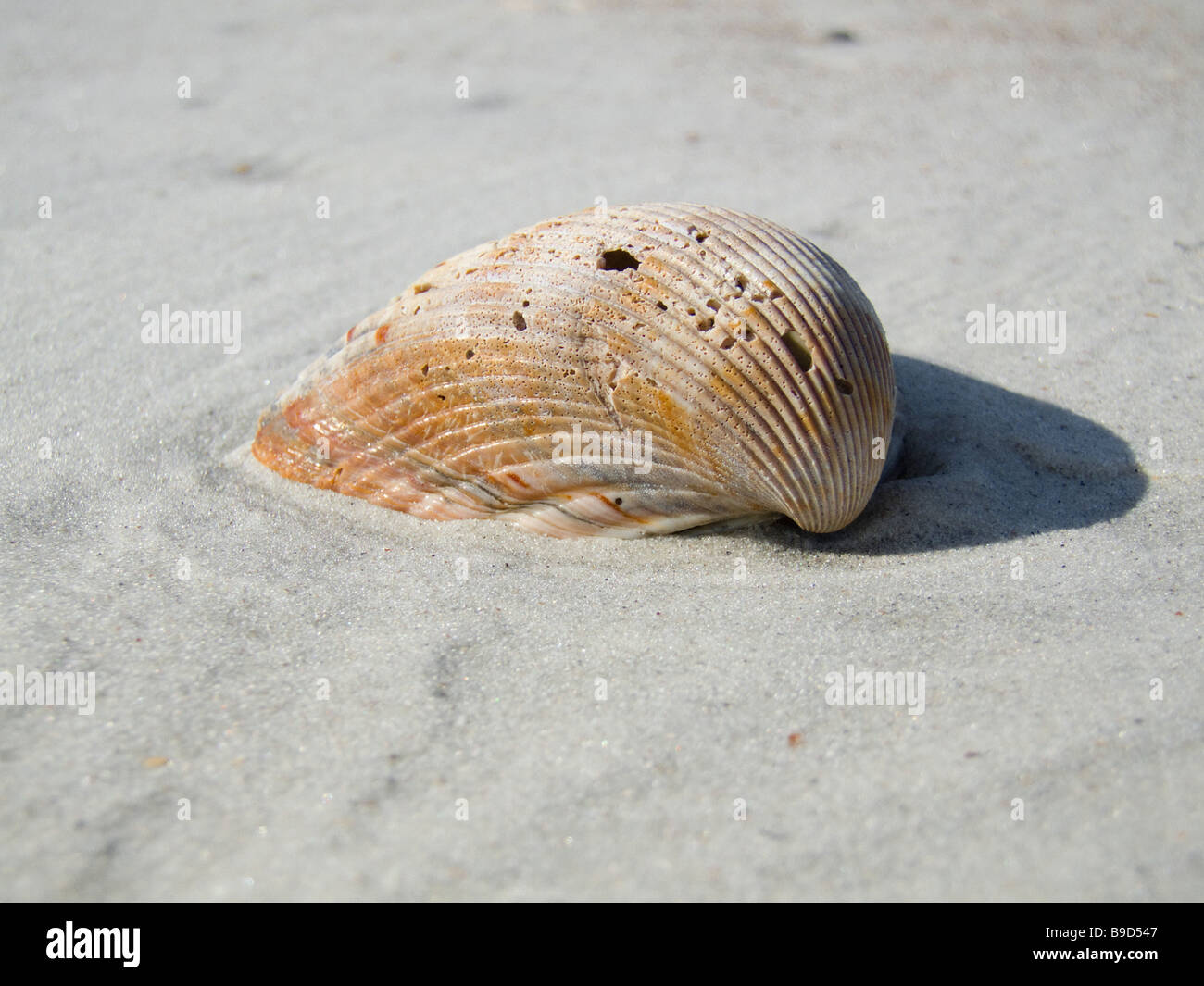 clam shell on beach in sand Stock Photo