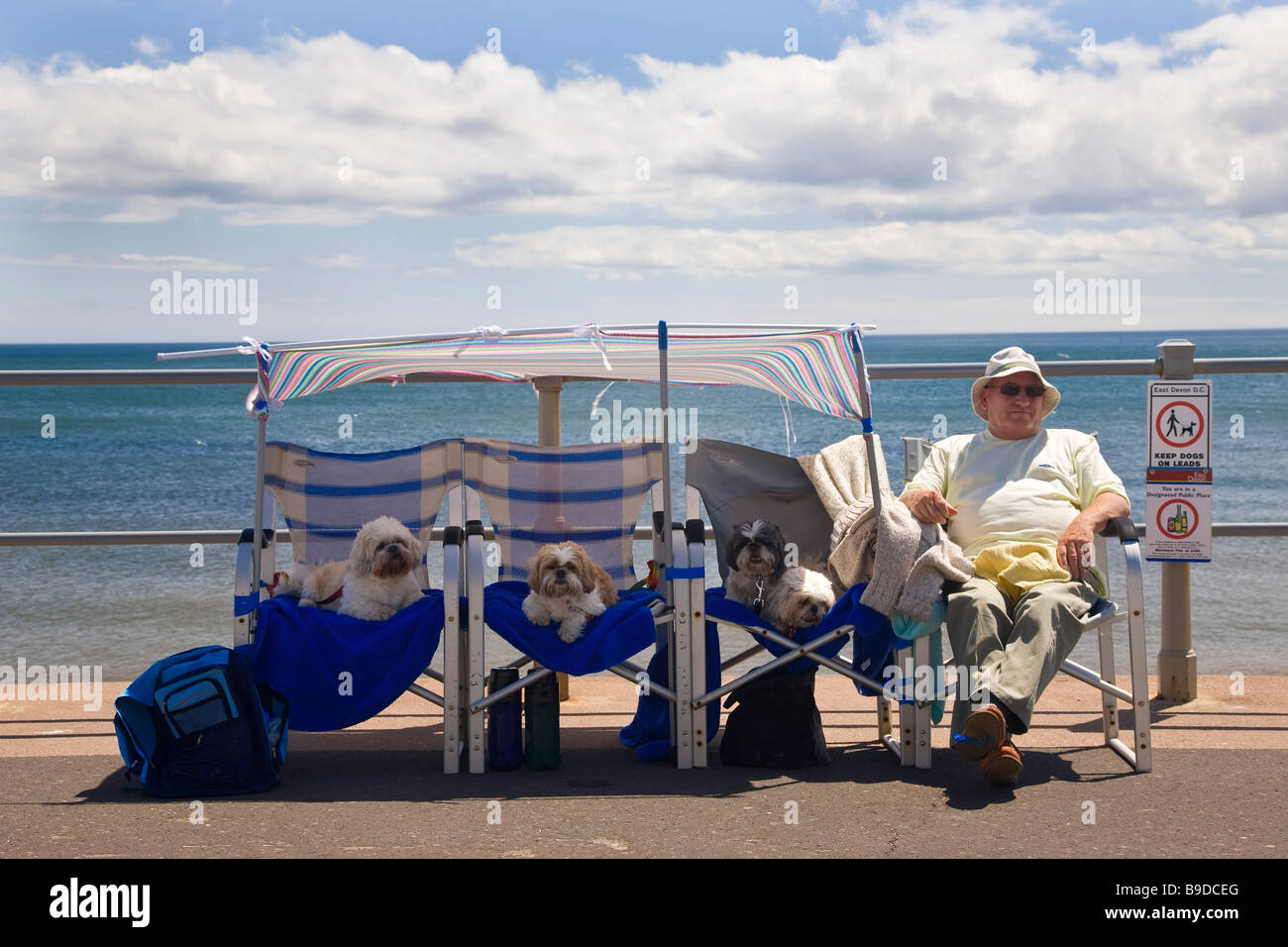 Man with dogs on sea front Sidmouth Devon UK - Stock Image
