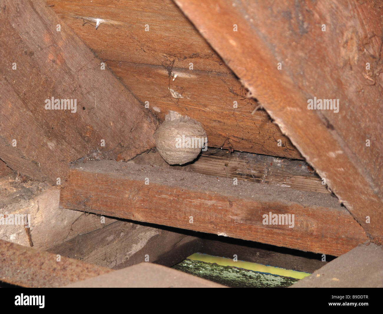 Small wasps nest in attic roofspace & Small wasps nest in attic roofspace Stock Photo: 23038535 - Alamy