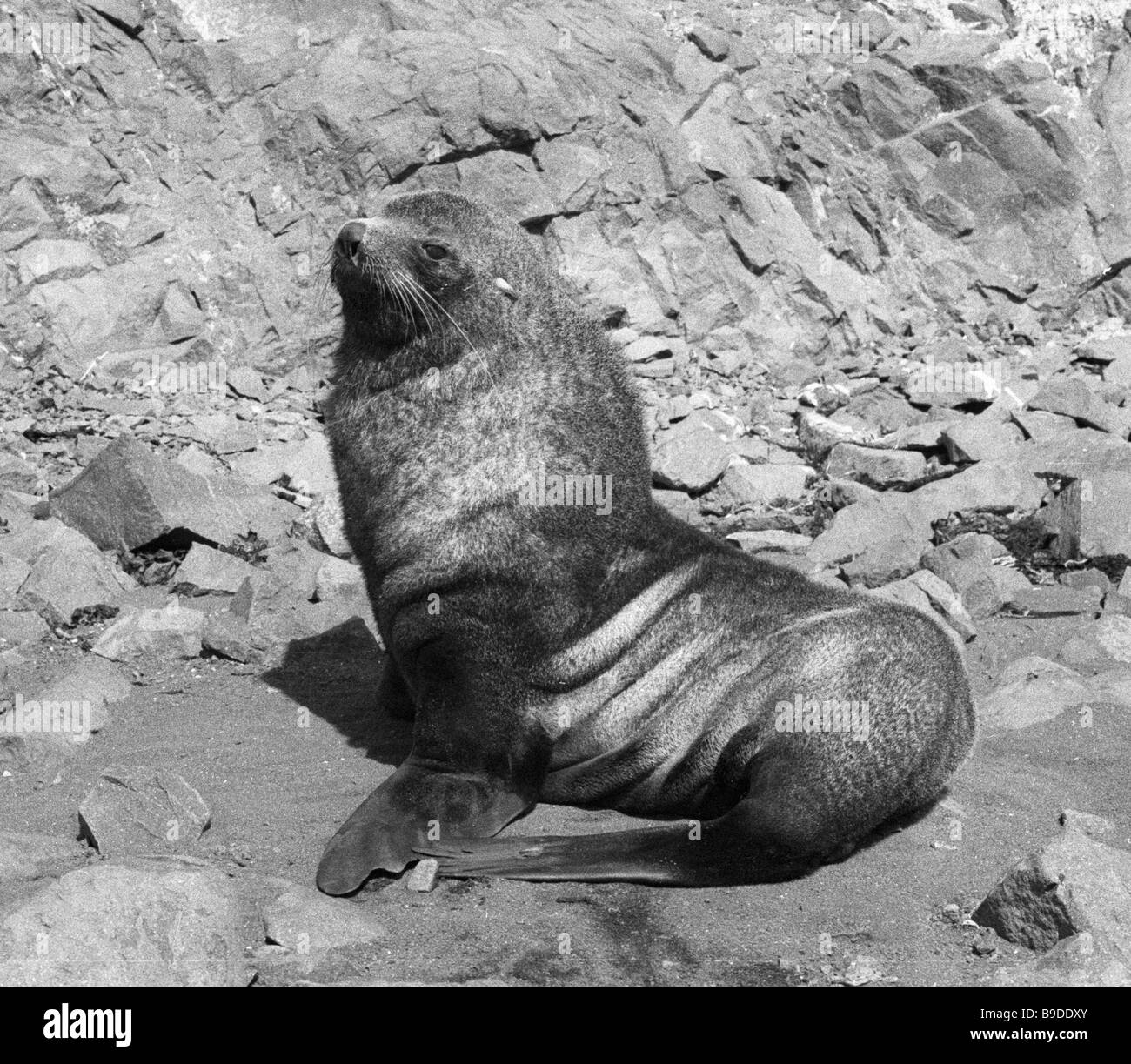 A southern seal living near the Bellinsgauzen station in the Antarctic - Stock Image