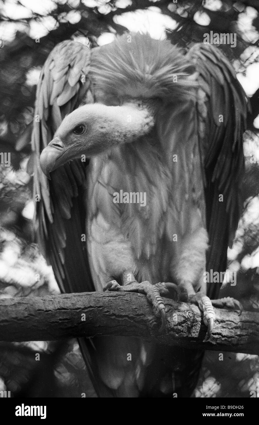 Griffin at the Mena zoo - Stock Image