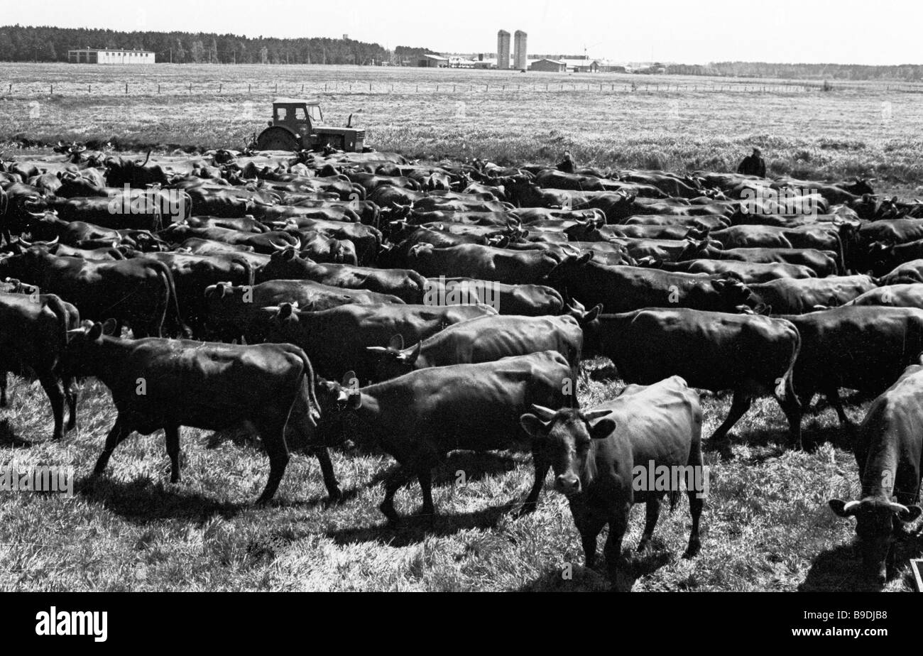 A herd of cows being driven to the pasture - Stock Image