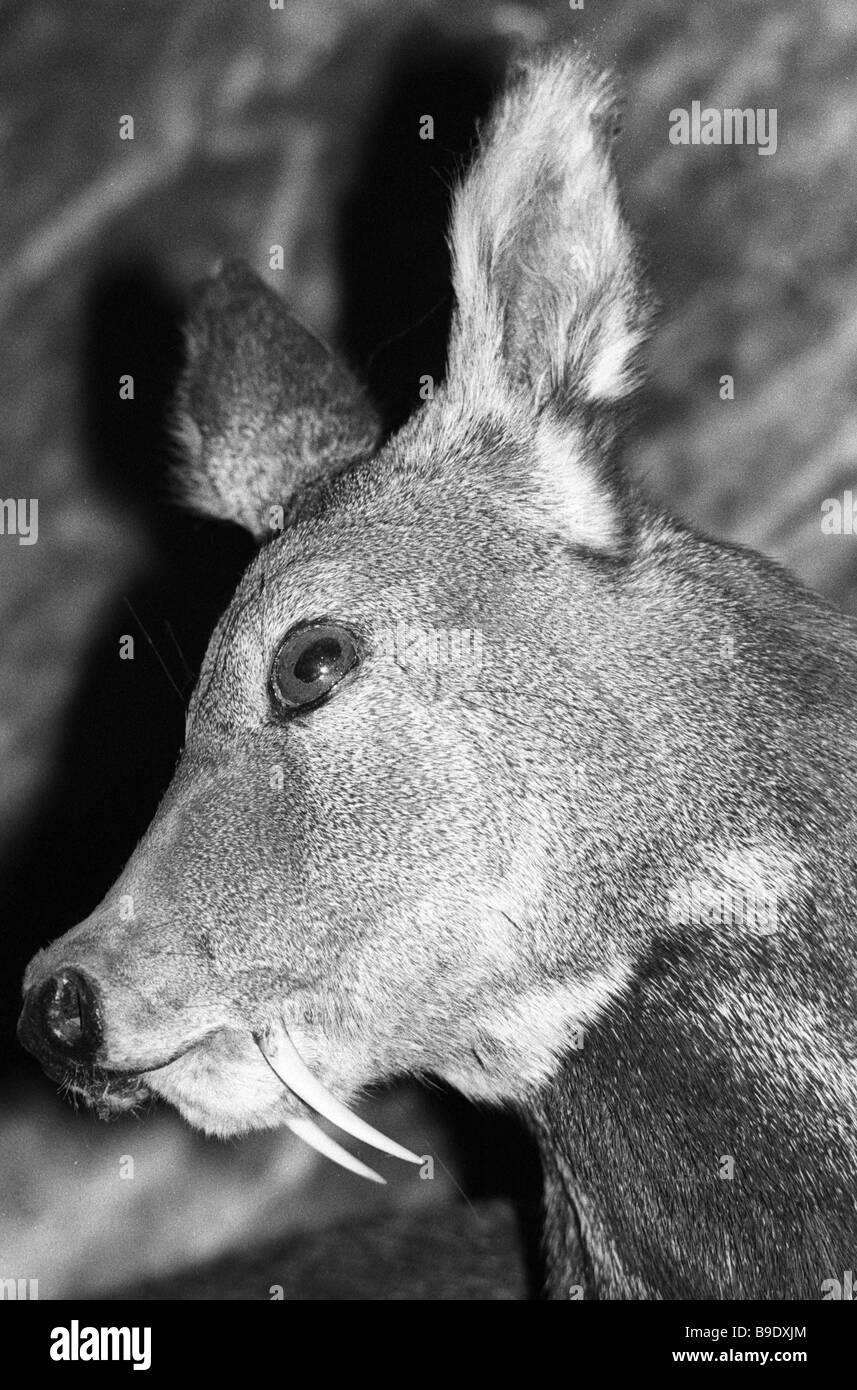 Stuffed male muck deer from the Irkutsk Regional Natural History Museum - Stock Image