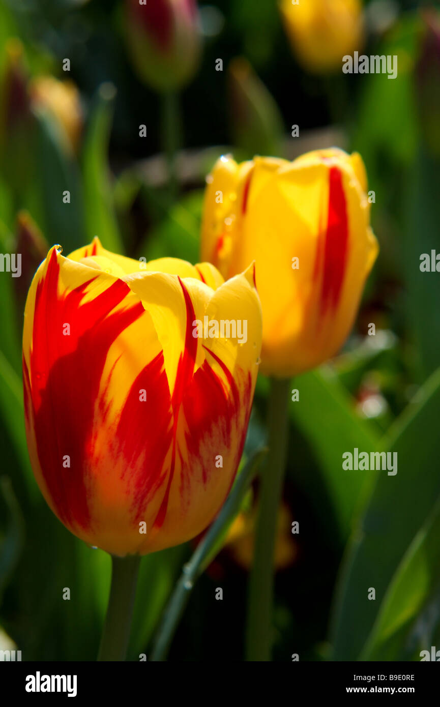 a picture of two tulips Stock Photo