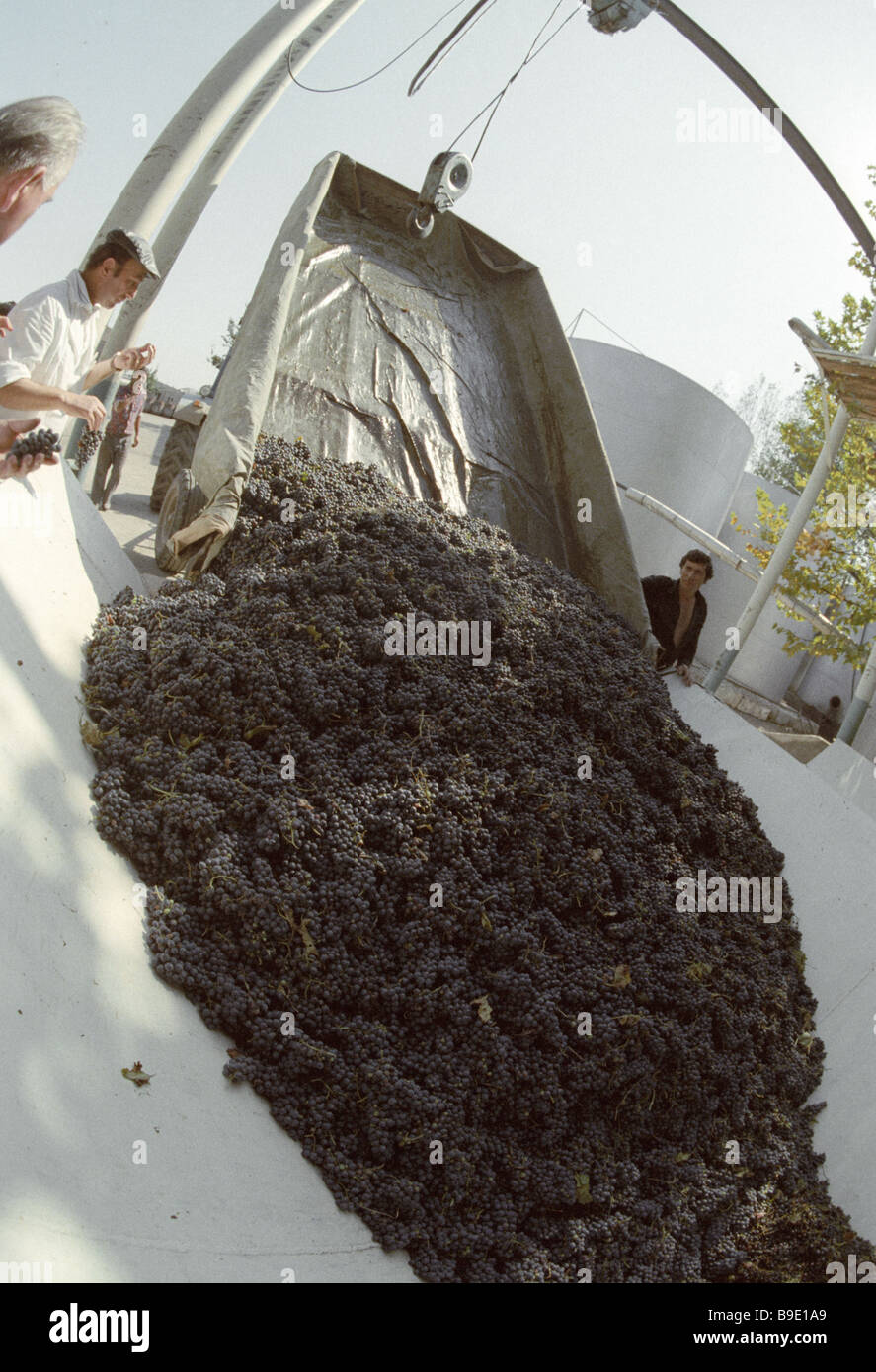 Workers using a winch to unload grapes from a tractor at the Teliani winery - Stock Image