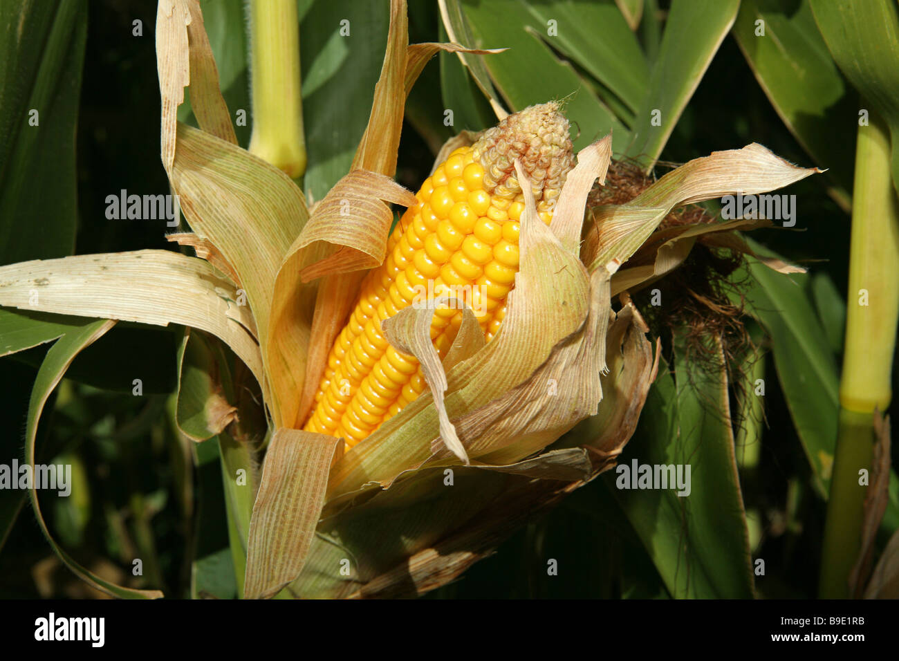 corn growing on a stalk open and showing kernels - Stock Image
