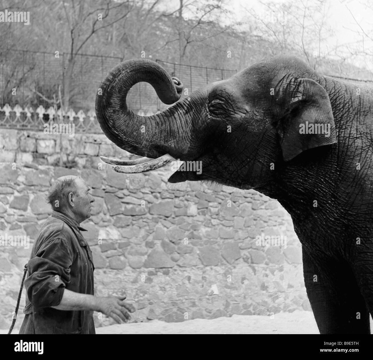 Worker of the Yerevan zoo issues orders to elephant in several languages - Stock Image