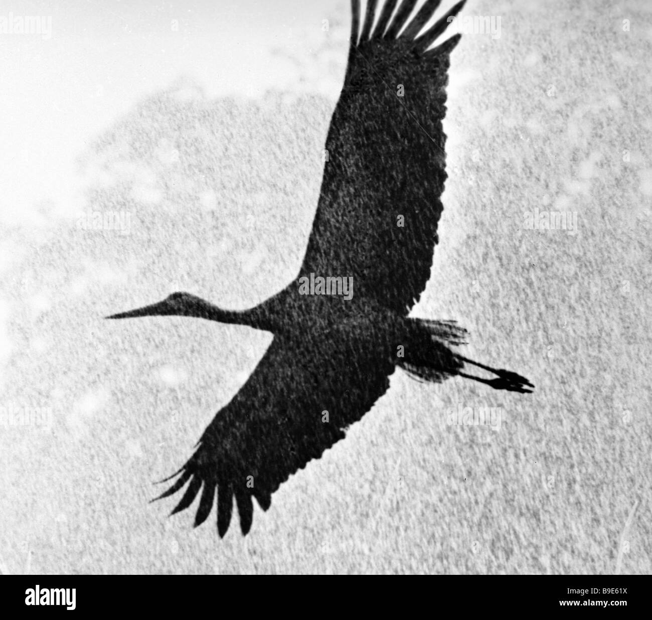 Black necked stork endangered species enlisted in the Red Data Book - Stock Image