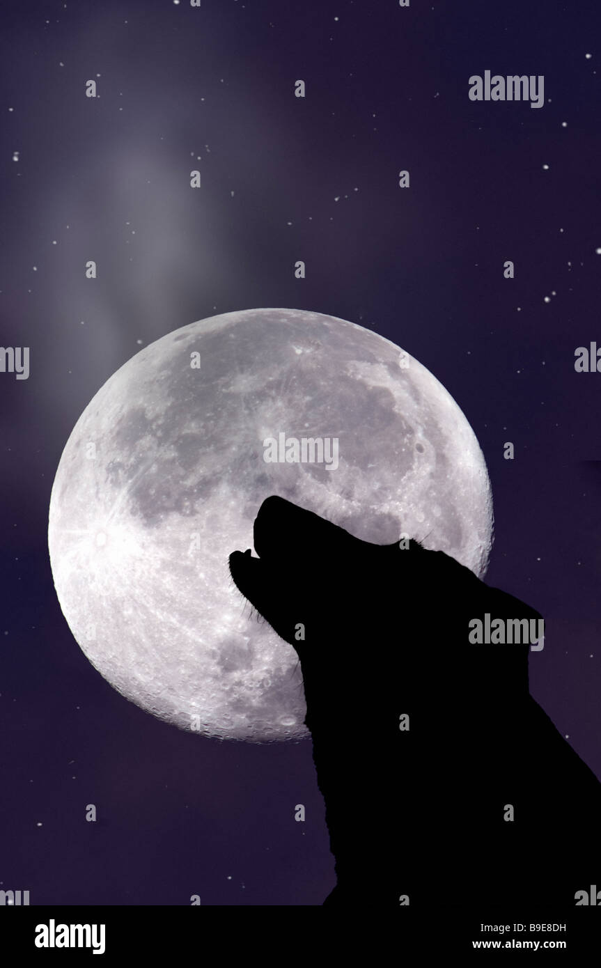 Wolf howling at moon - Stock Image