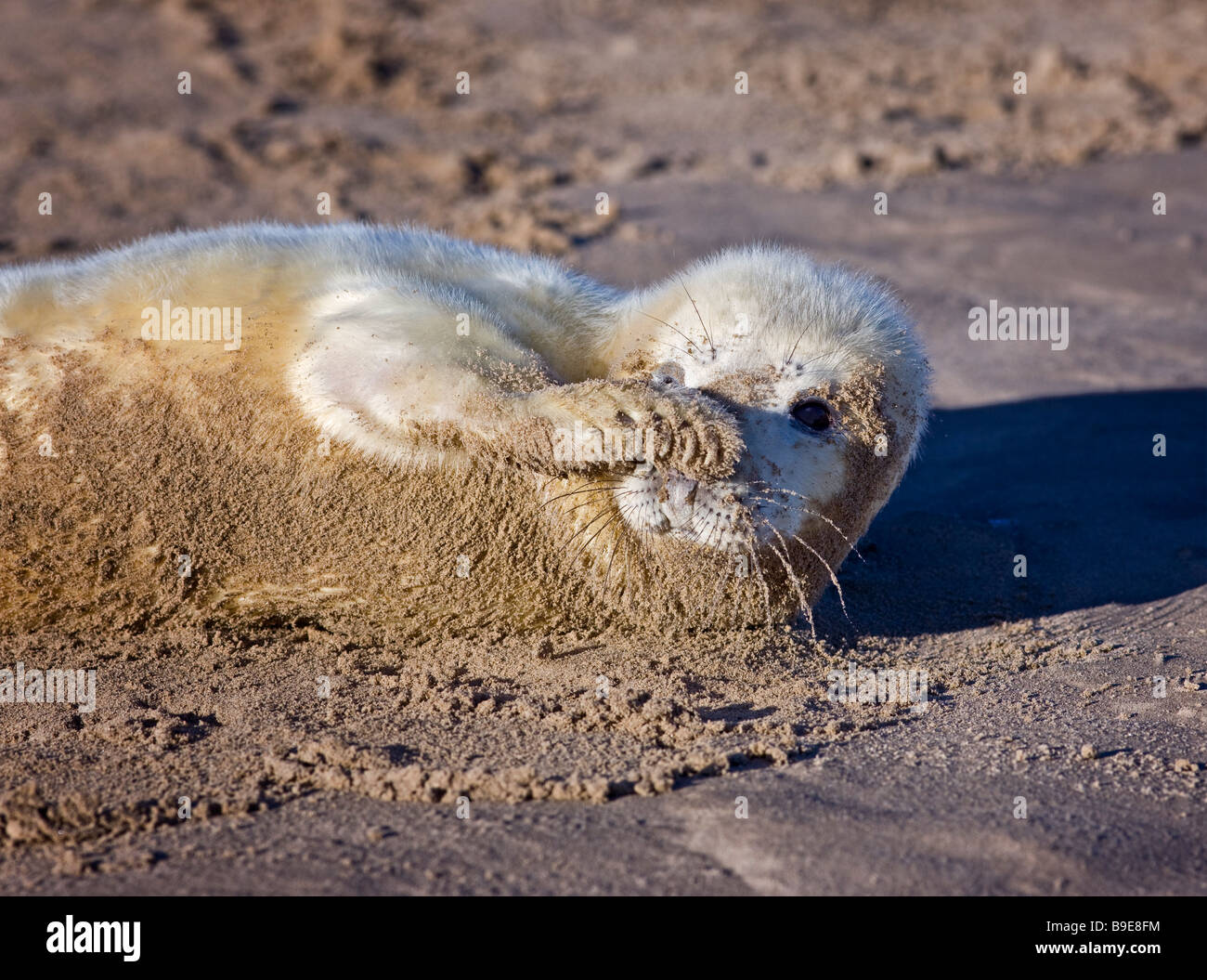 Halichoerus grypus, grey seal pup. Lincolnshire December 2008 Stock Photo