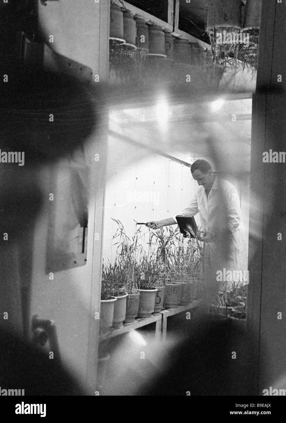 Associate of the Mironovsky research wheat breeding institute at work - Stock Image