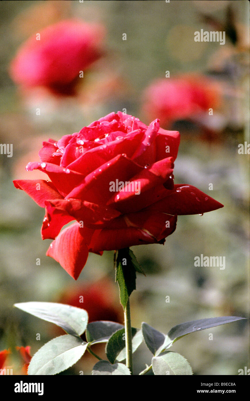 The Guldasta cooperative is round the year rose grower - Stock Image