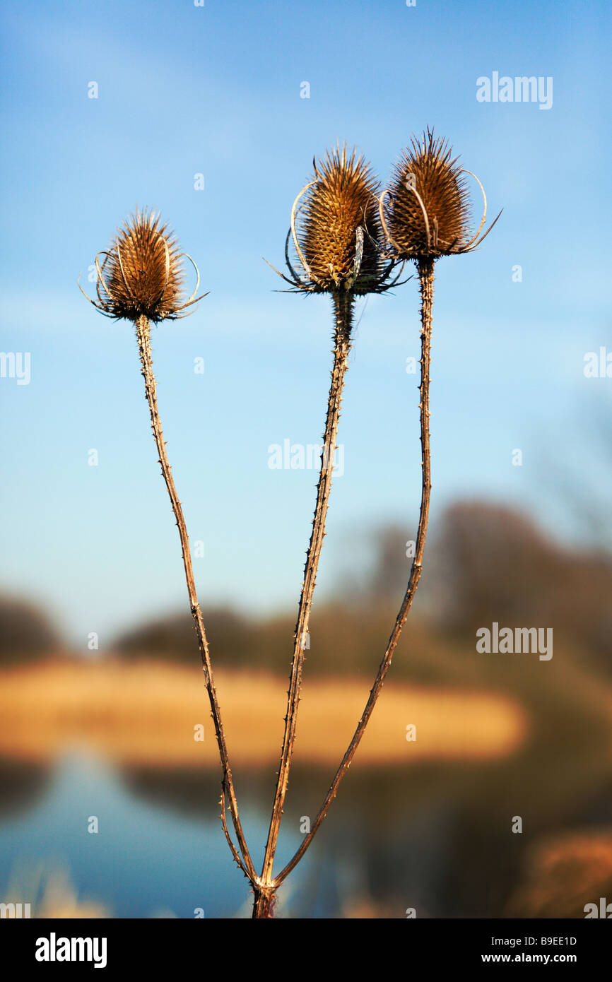 Teasal Heads Dispsacus Fullonum In Early Spring Beside The River Ouse, Huntingdon Cambridgeshire England UK - Stock Image