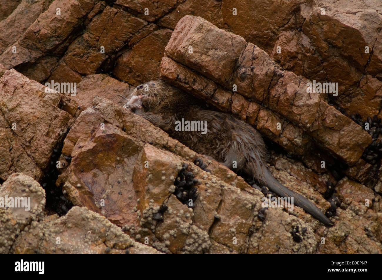 MARINE OTTER Lontra felina - Stock Image