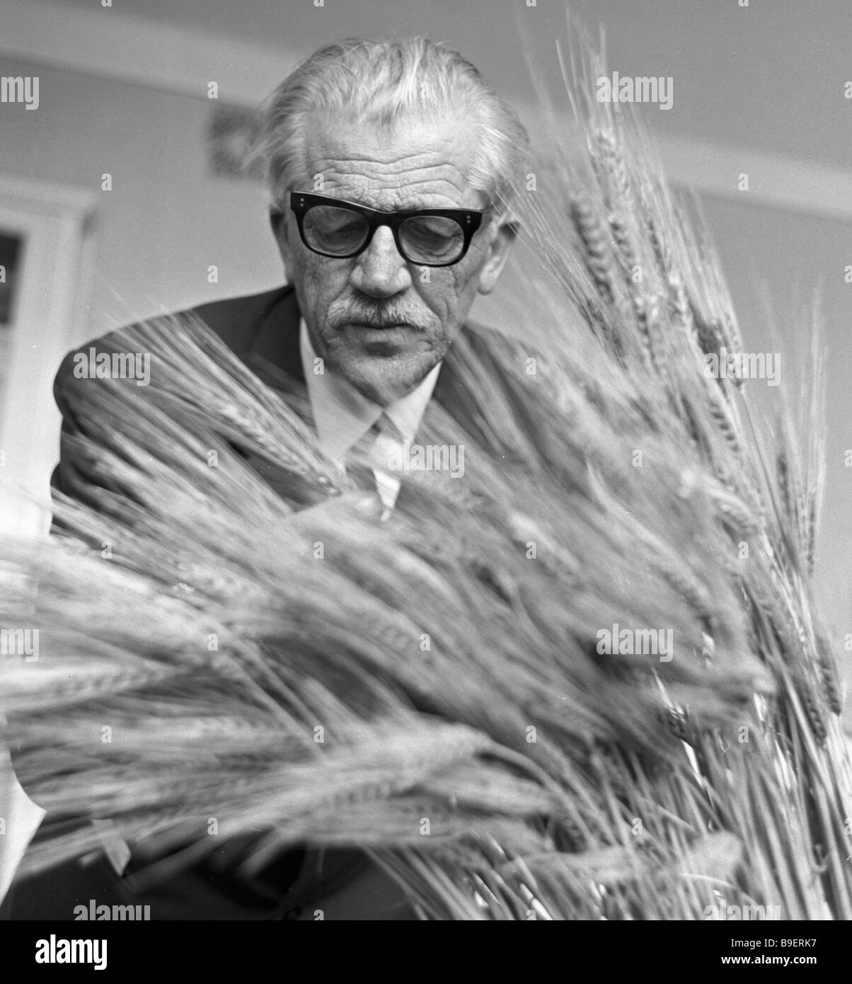 Prokofy Garkavy corresponding member of the Agricultural Academy of Sciences viewing the new variety of wheat - Stock Image