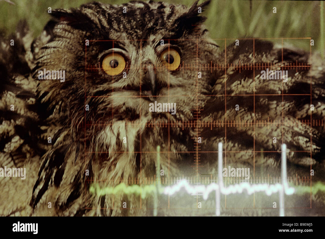 Owl monitored by the ornithology station of the Zoology and Botany Institute Estonian S S R Academy of Sciences - Stock Image