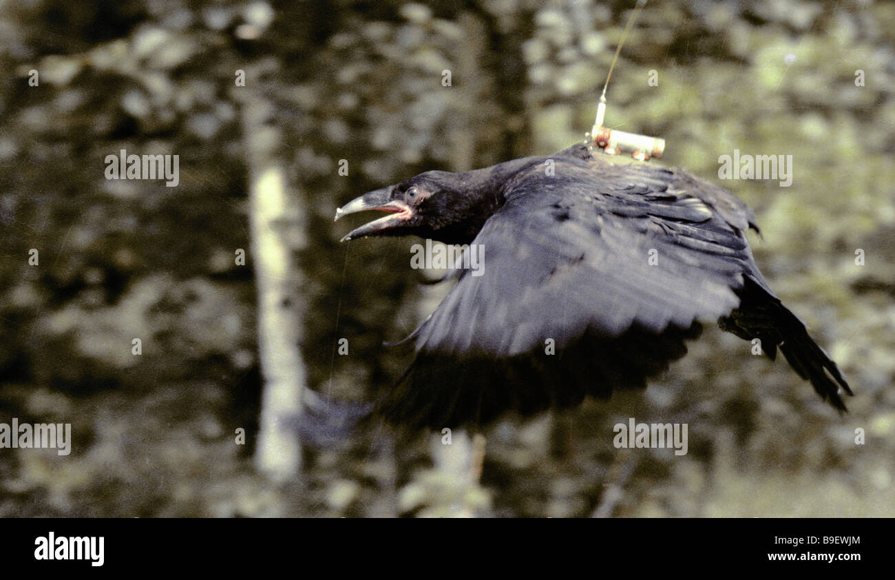 Young raven with attached radio probe to monitor its movements on Puhtolaid Penionsula - Stock Image
