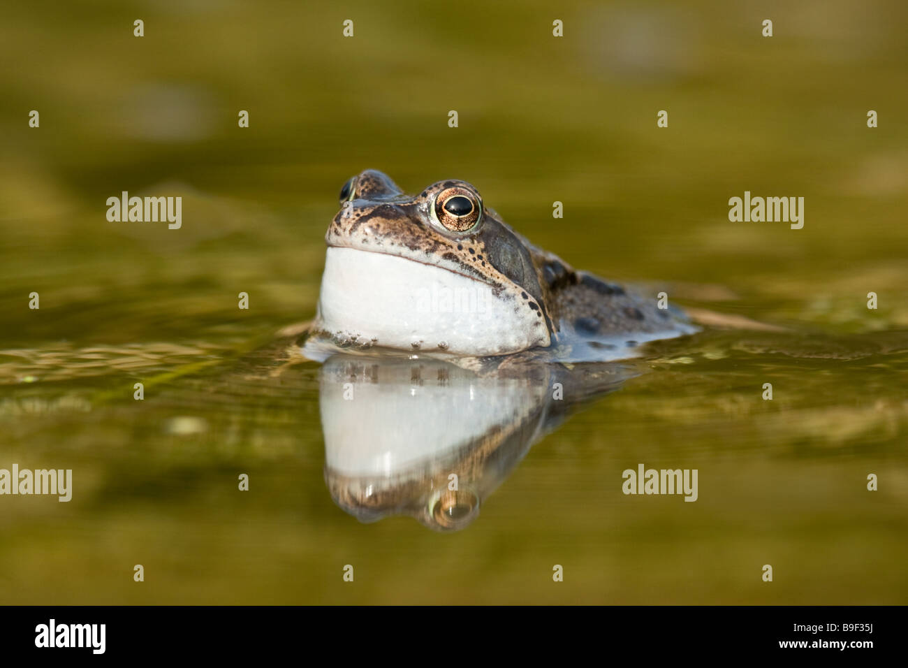 Common Frog (Rana temporaria) croaking, with head protruding from garden pond, Cambridgeshire, England - Stock Image
