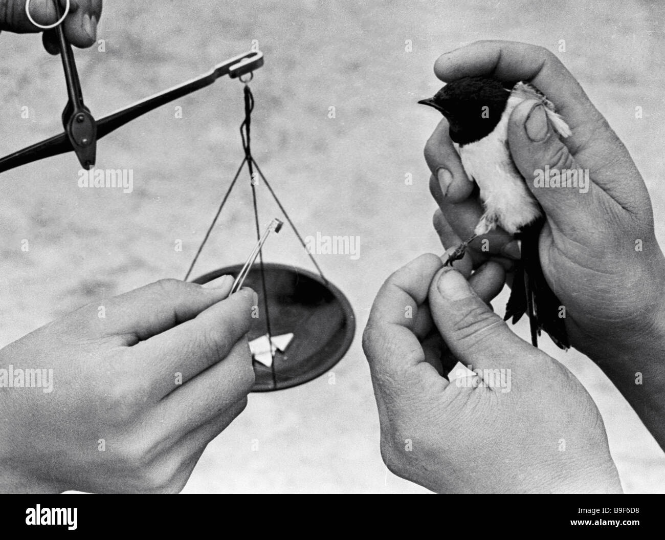 Ringing a migrating swallow Institute of Zoology and Parasitology - Stock Image