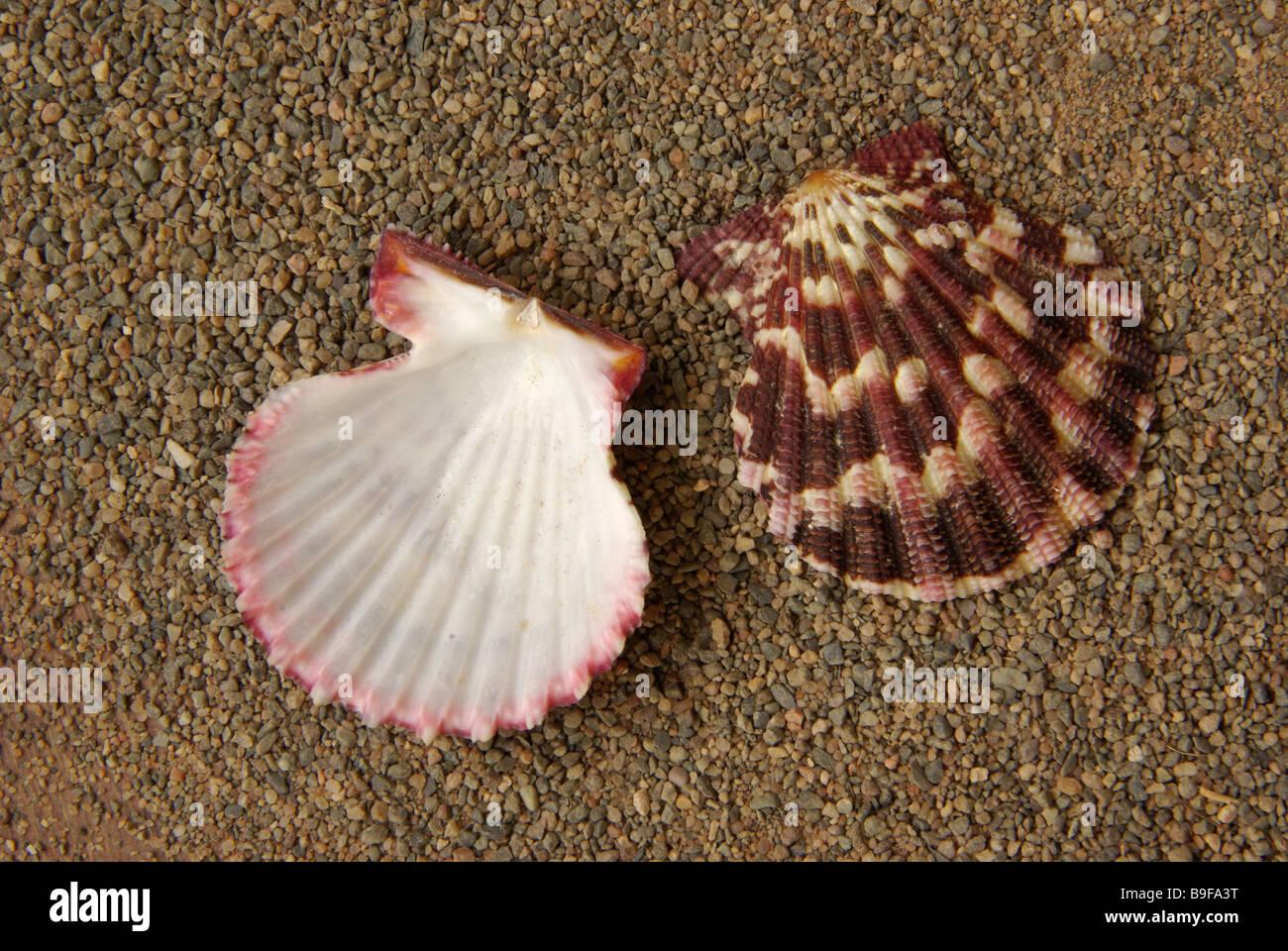 Chlamys pallium - Stock Image