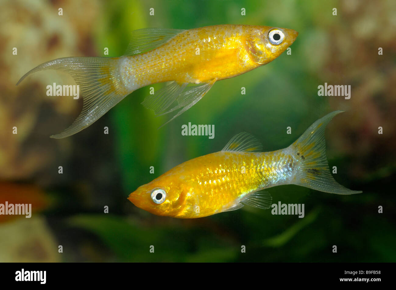 Gold Molly (Poecilia sphenops), two individuals in an aquarium - Stock Image