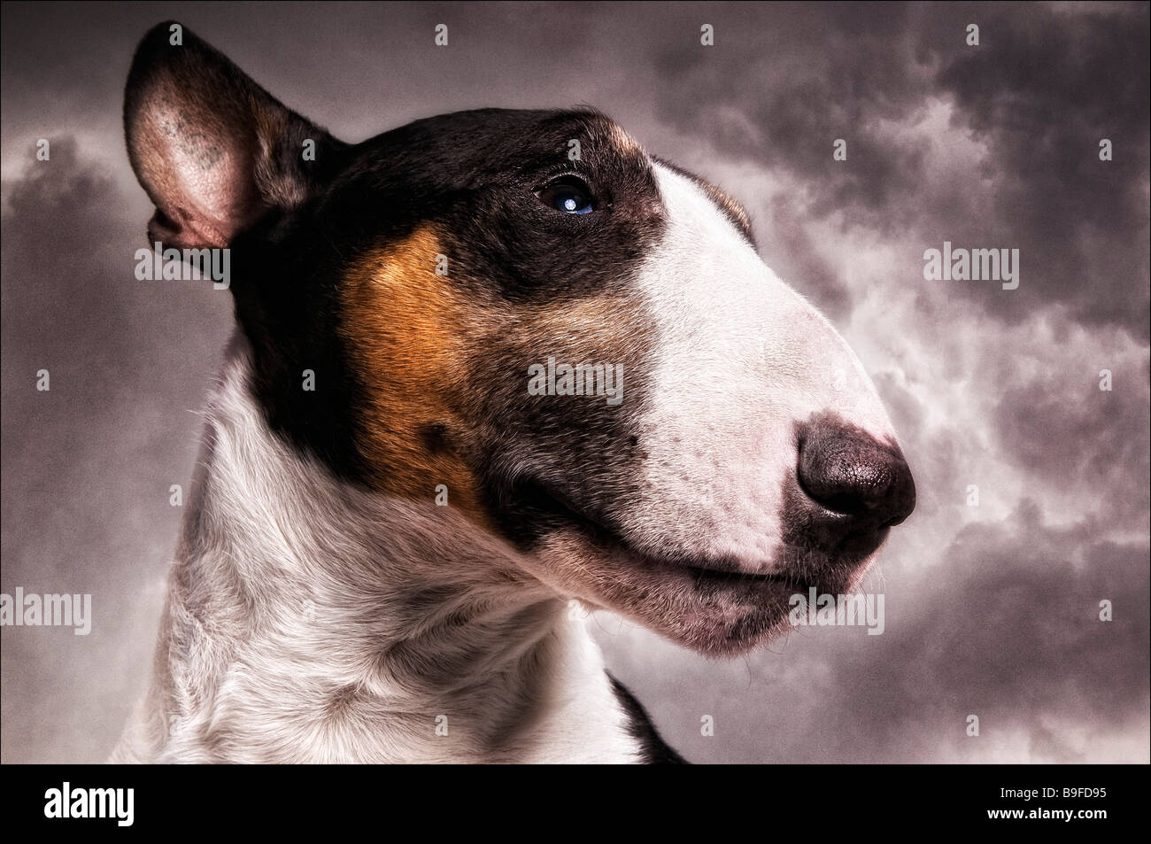 Close-up of Bull Terrier's face - Stock Image