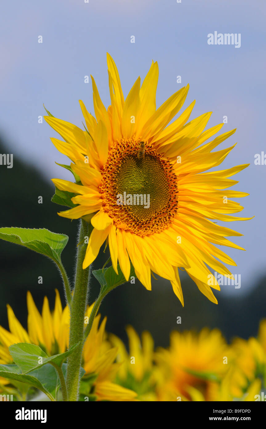 Close-up of blooming Sunflower (Helianthus Annus) - Stock Image