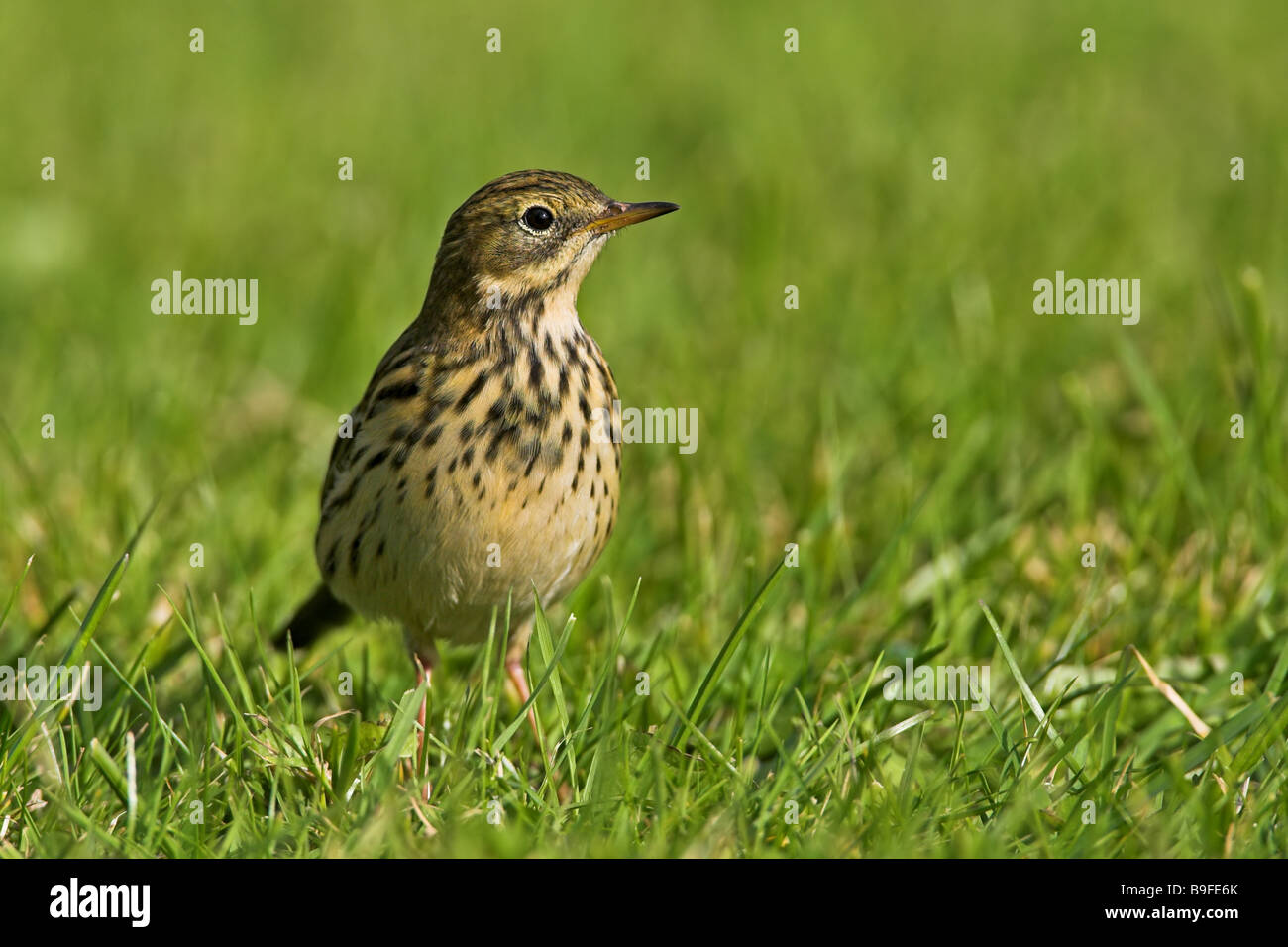 Close-up of Meadow Pipit (Anthus pratensis) in field Stock Photo