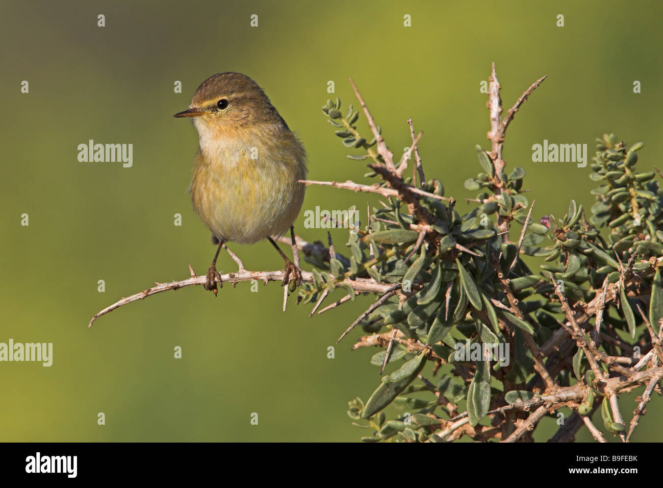 Close-up of bird perching on twig - Stock Image