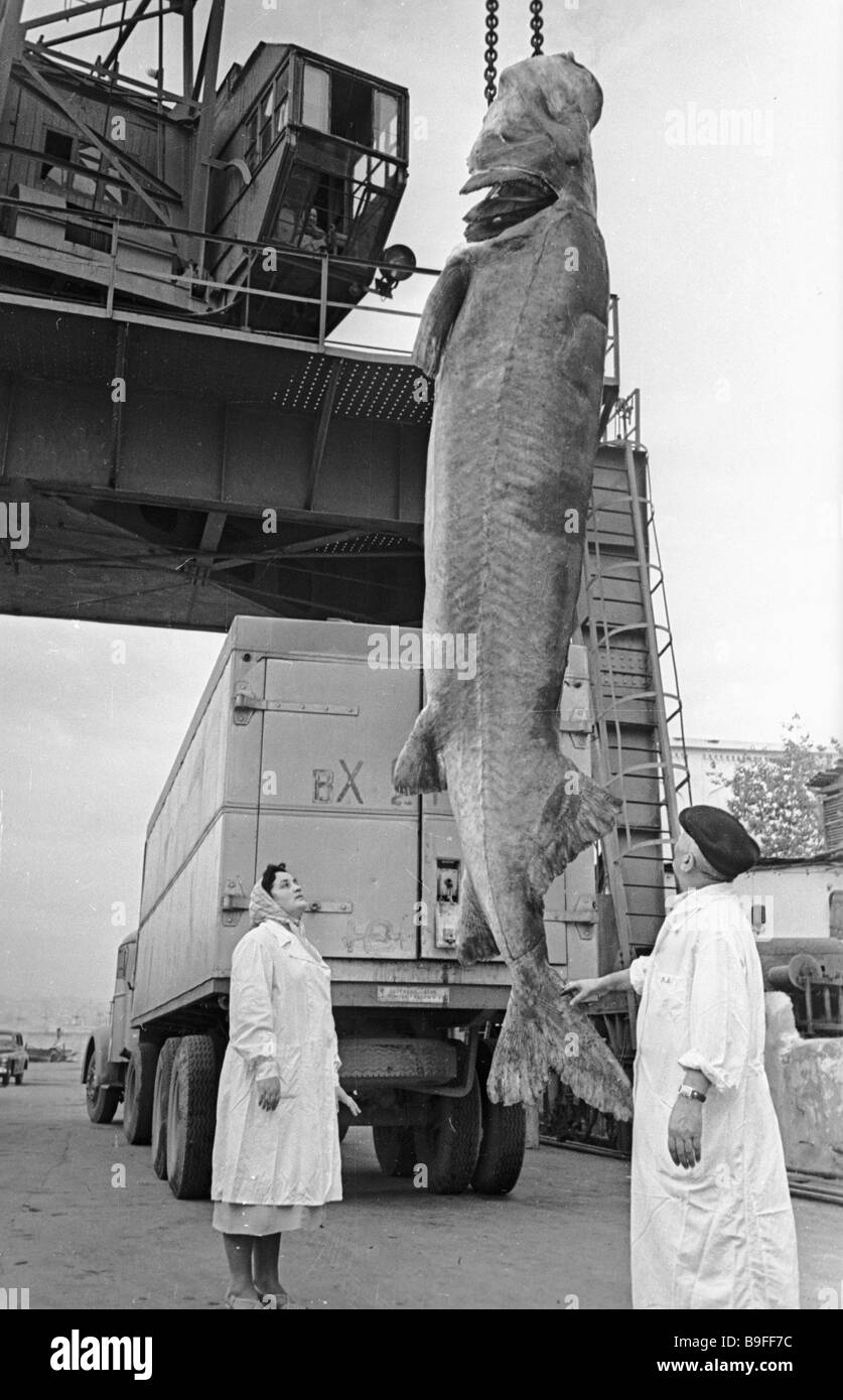 This Caspian white sturgeon weighs 800 kilograms - Stock Image