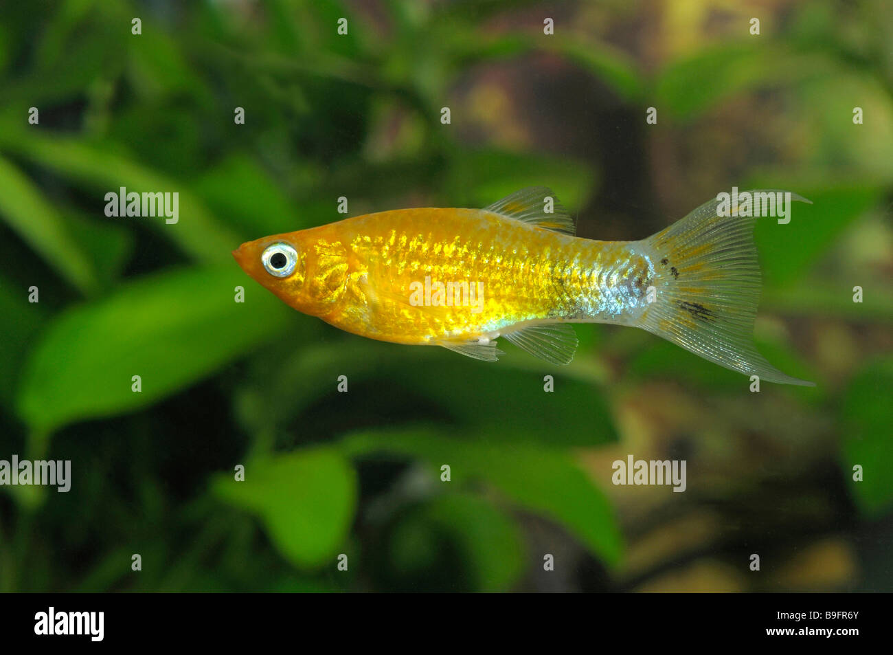 gold molly poecilia sphenops in an aquarium stock photo 23089779