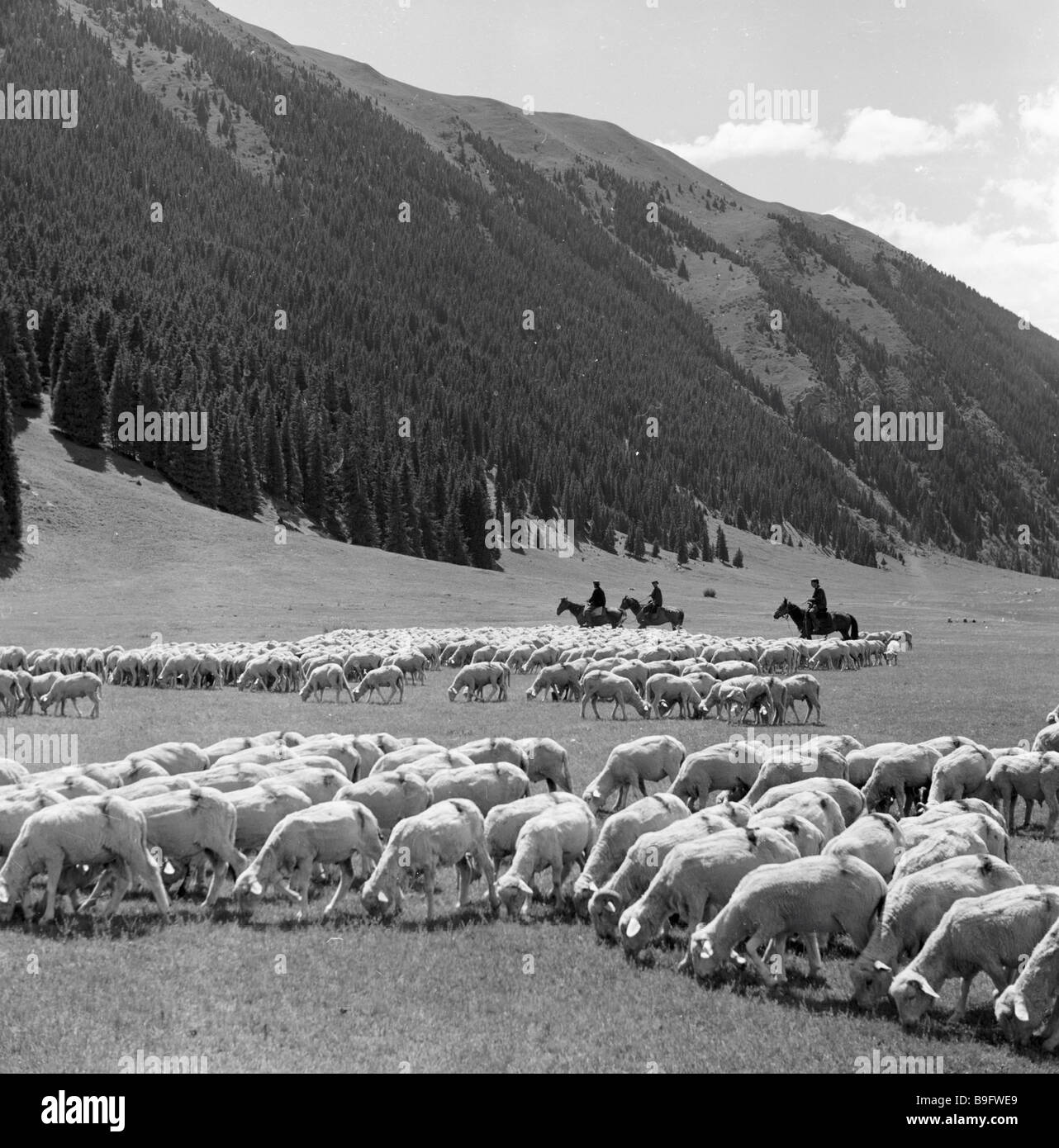 Sheep herds on the pasture at an altitude of 2 600 m - Stock Image