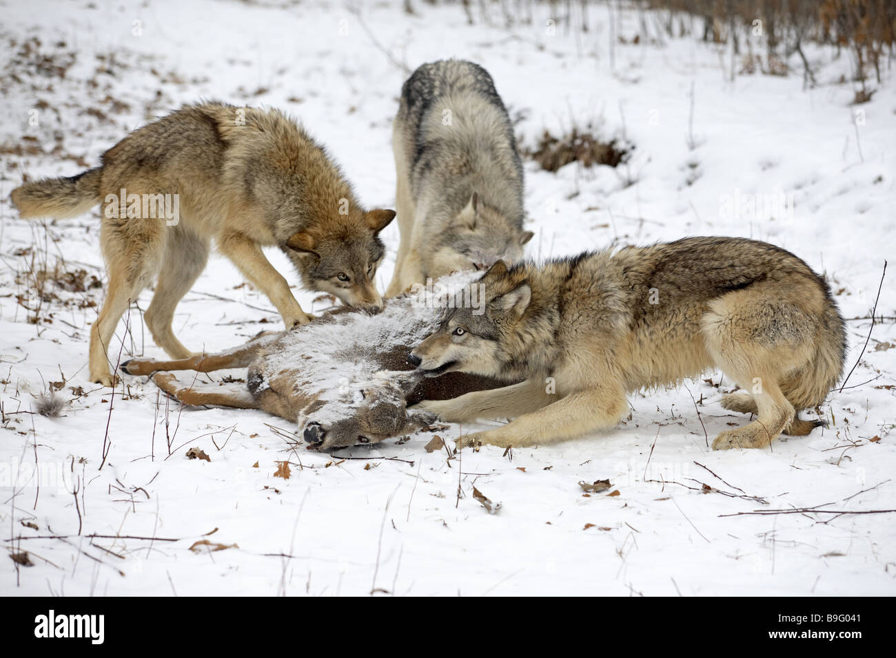 Eastern timber wolves Canis lupus lycaon loot eating Loot loot-animal Canis lupus Canis lupus lycaon three wolves Stock Photo