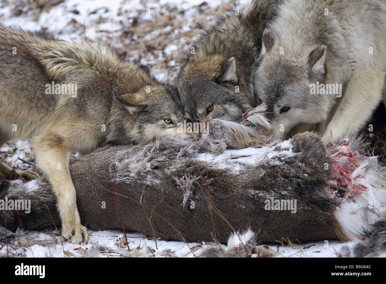 Eastern timber wolves Canis lupus lycaon loot eating Bites loot loot-animal Canis lupus Canis lupus lycaon detail Stock Photo