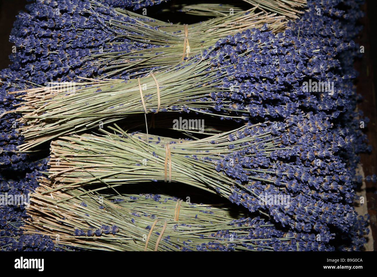 Lavenders focused dried plant lavender-bouquets bloom fragrantly ethereally symbol scent aroma lavender-scent body - Stock Image