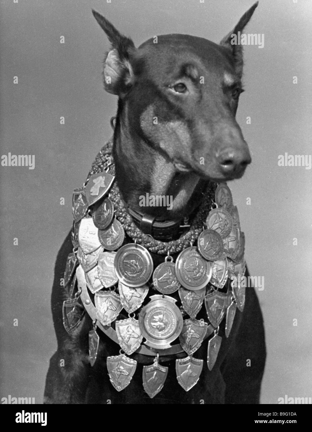 A Dobermann dog at the Working Dog Show - Stock Image
