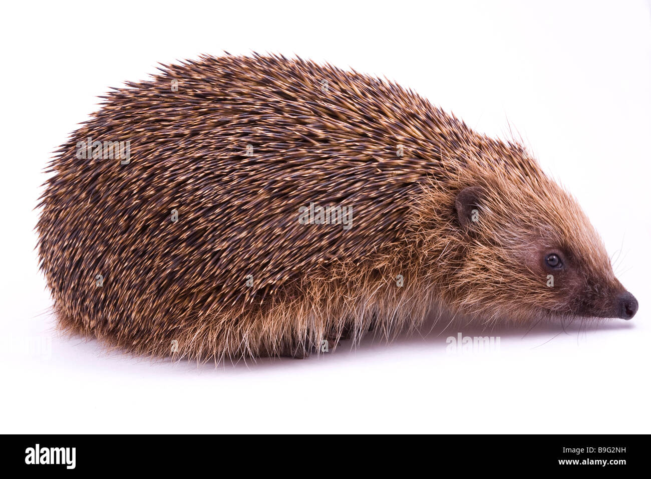 British isles Male Hedgehog on White Background Stock Photo