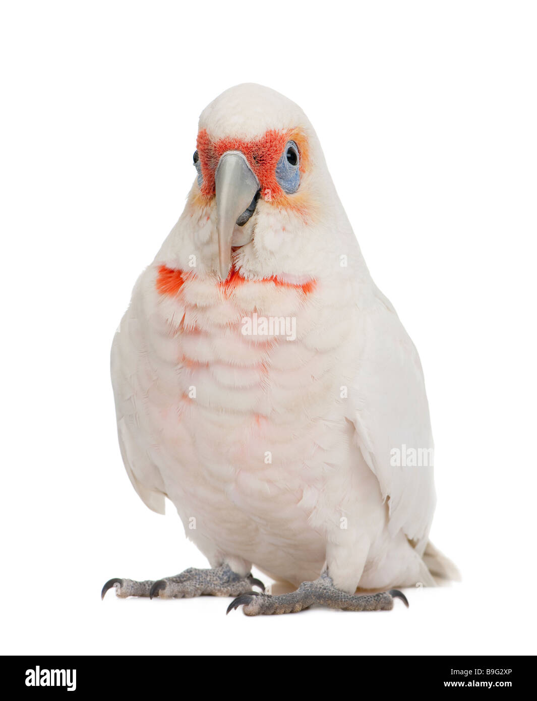 Long billed Corella Cacatua tenuirostris in front of a white background He look Similar in appearance to the Little - Stock Image