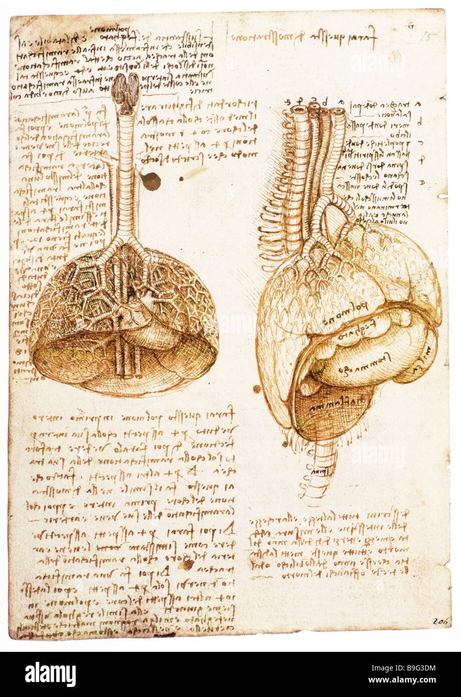 Lungs, heart, abdominal organs of a pig by Leonardo da Vinci  1508 - Stock Image