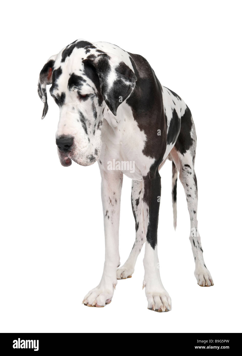 Great Dane 4 years old in front of white background - Stock Image
