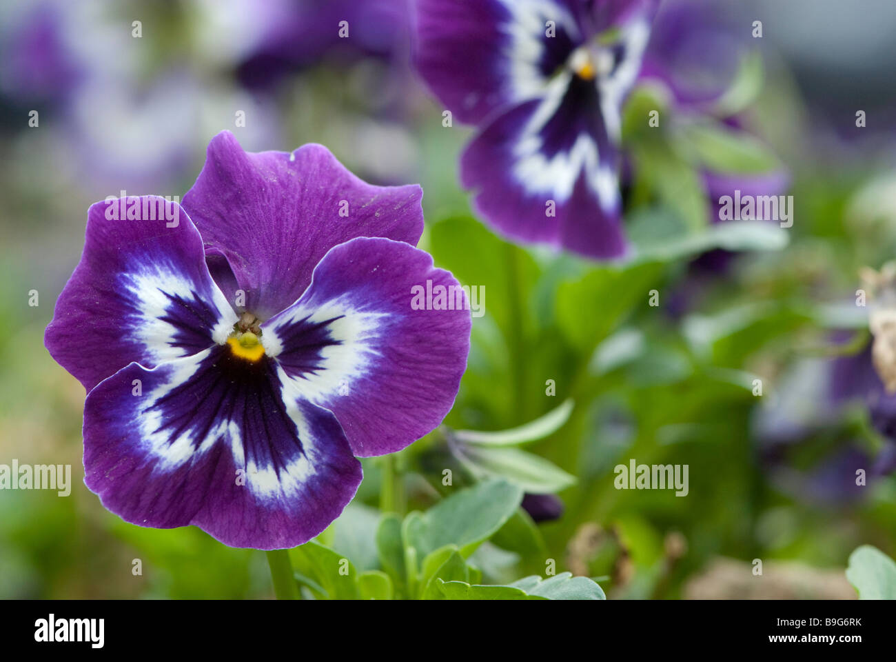 A purple Pansy - Stock Image