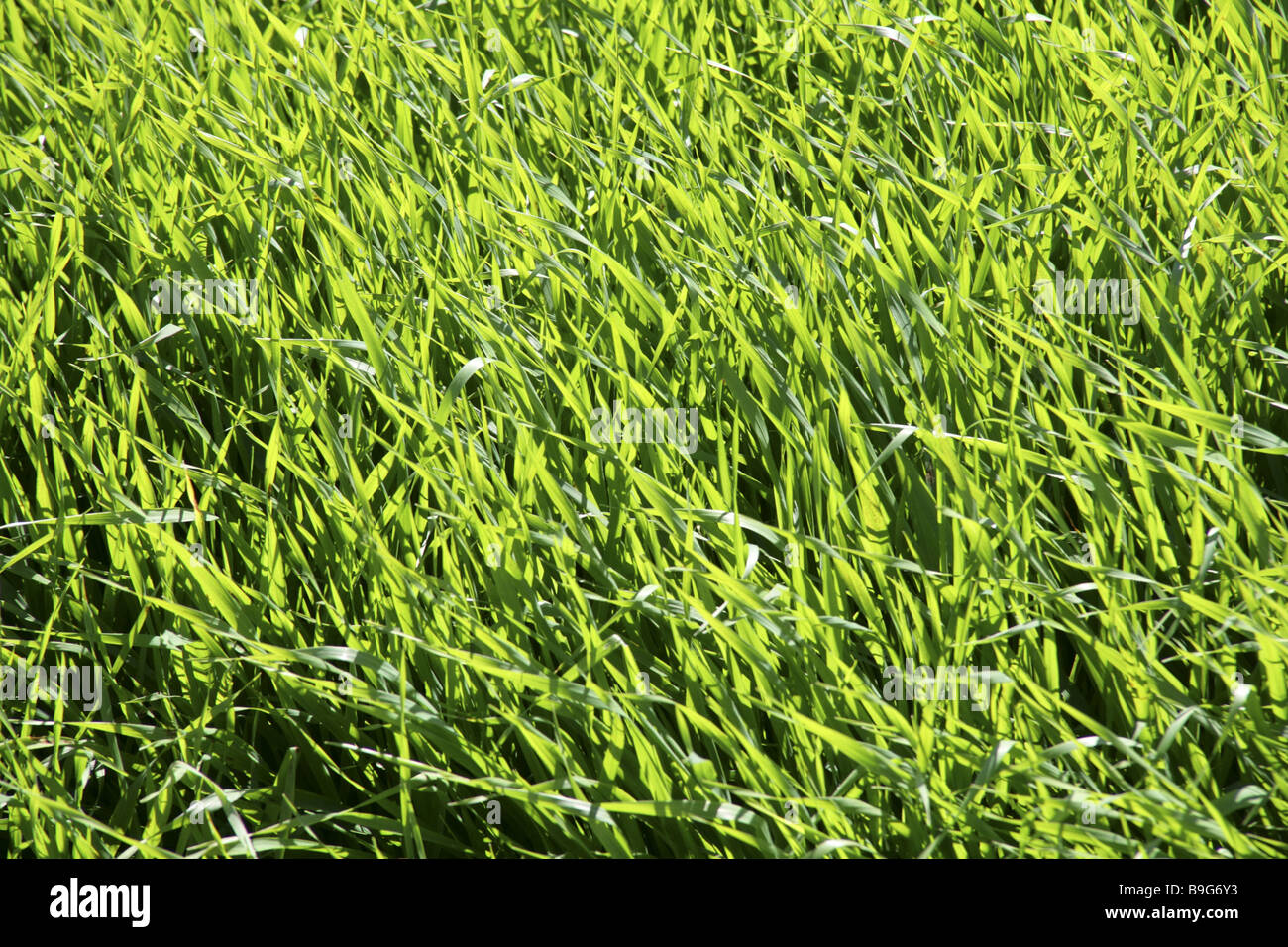 Meadow grass juicy green close-up Background Balearic Islands chlorophyll Close-up detail field-landscape fertile - Stock Image