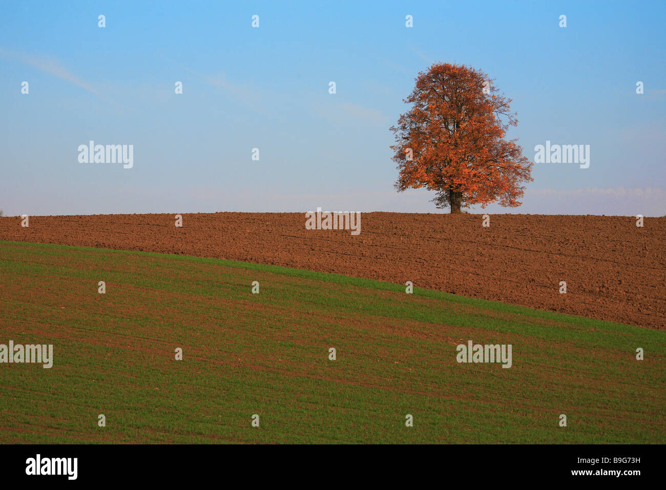 Limetree in autumn - Stock Image