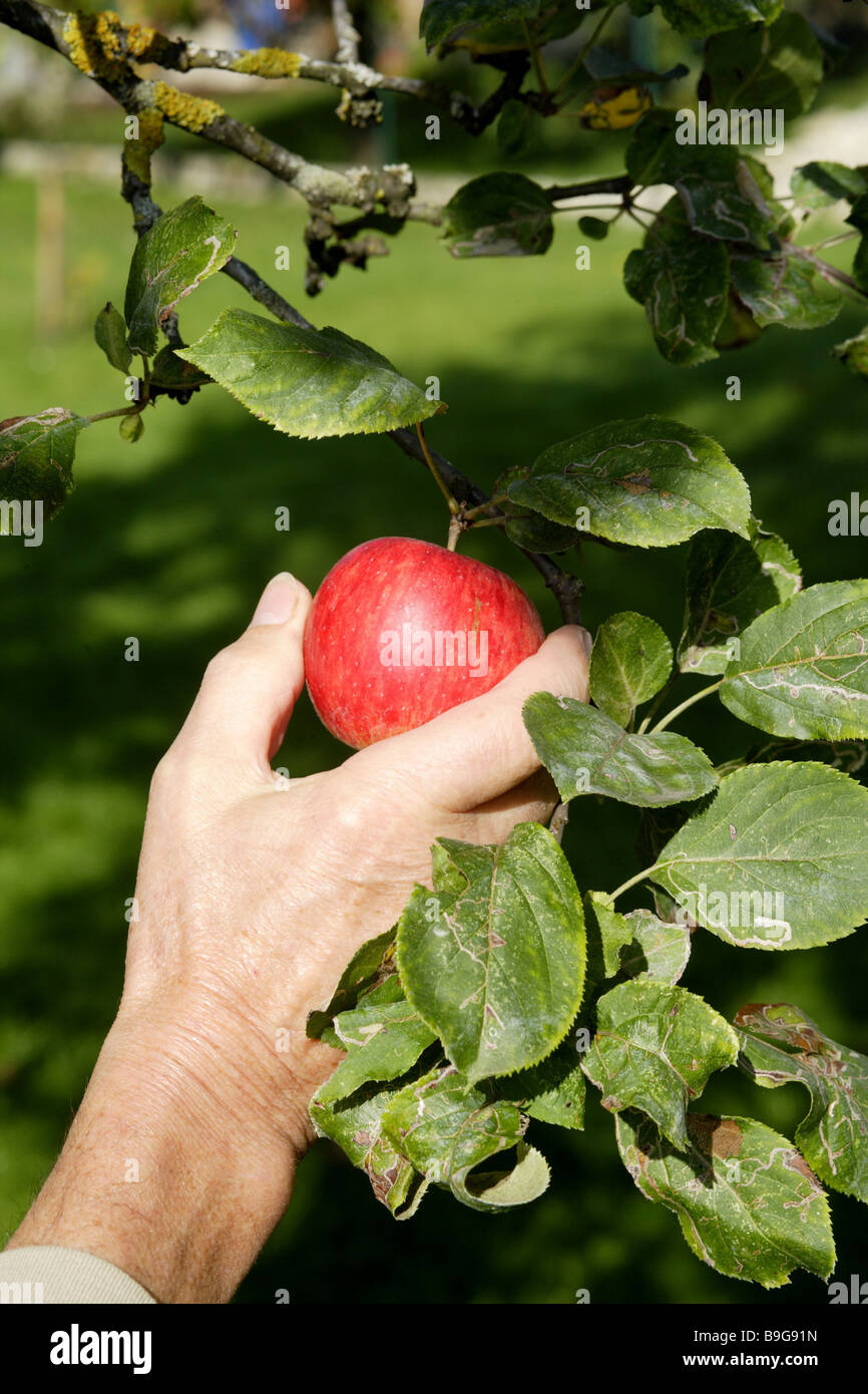 Mans Hand Apple Tree Picks Apples Man Fruit Pome Harvests Harvest Collects Symbol Nutrition