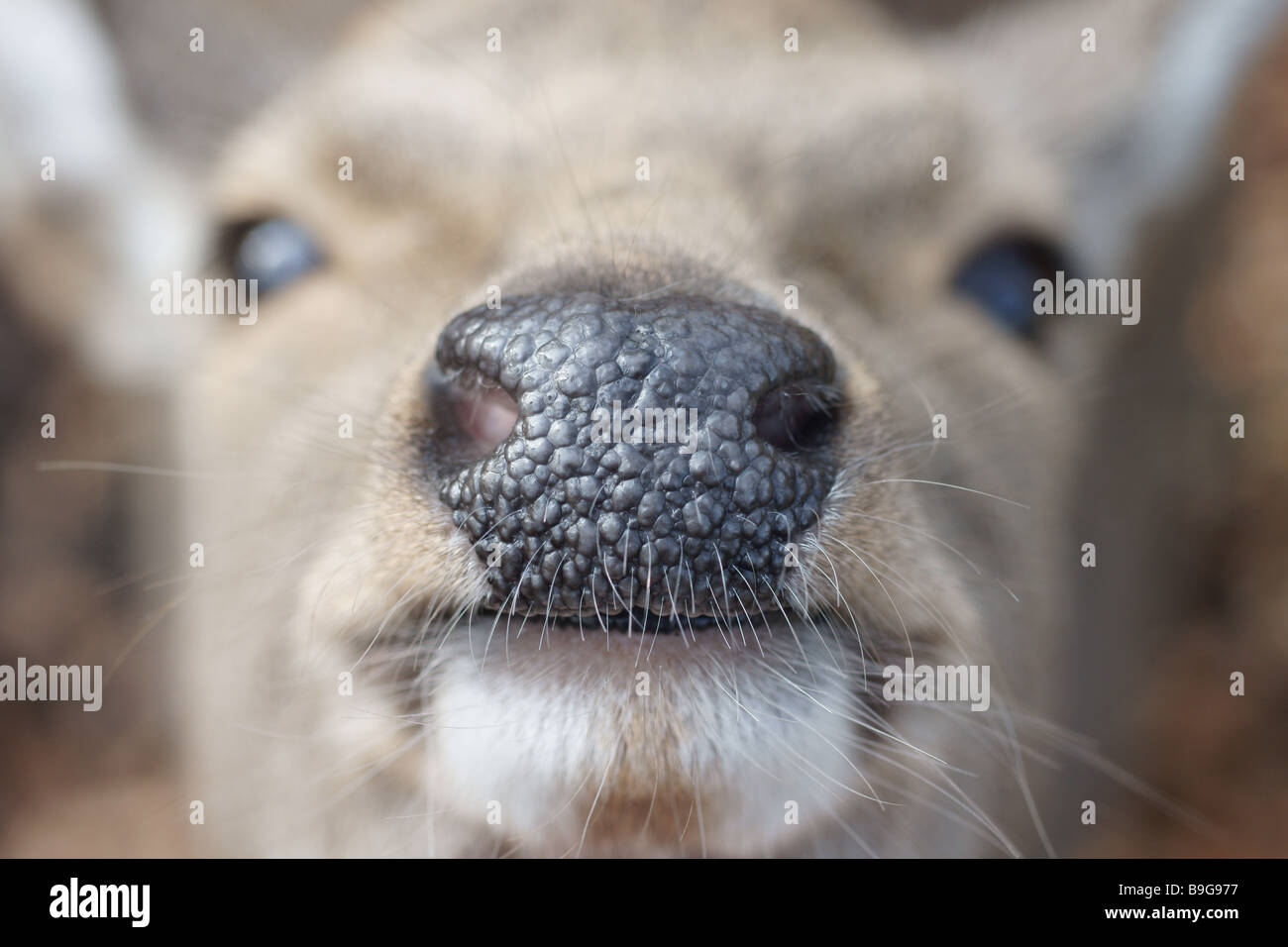 Male Japanese Sika deer up close and personal Stock Photo