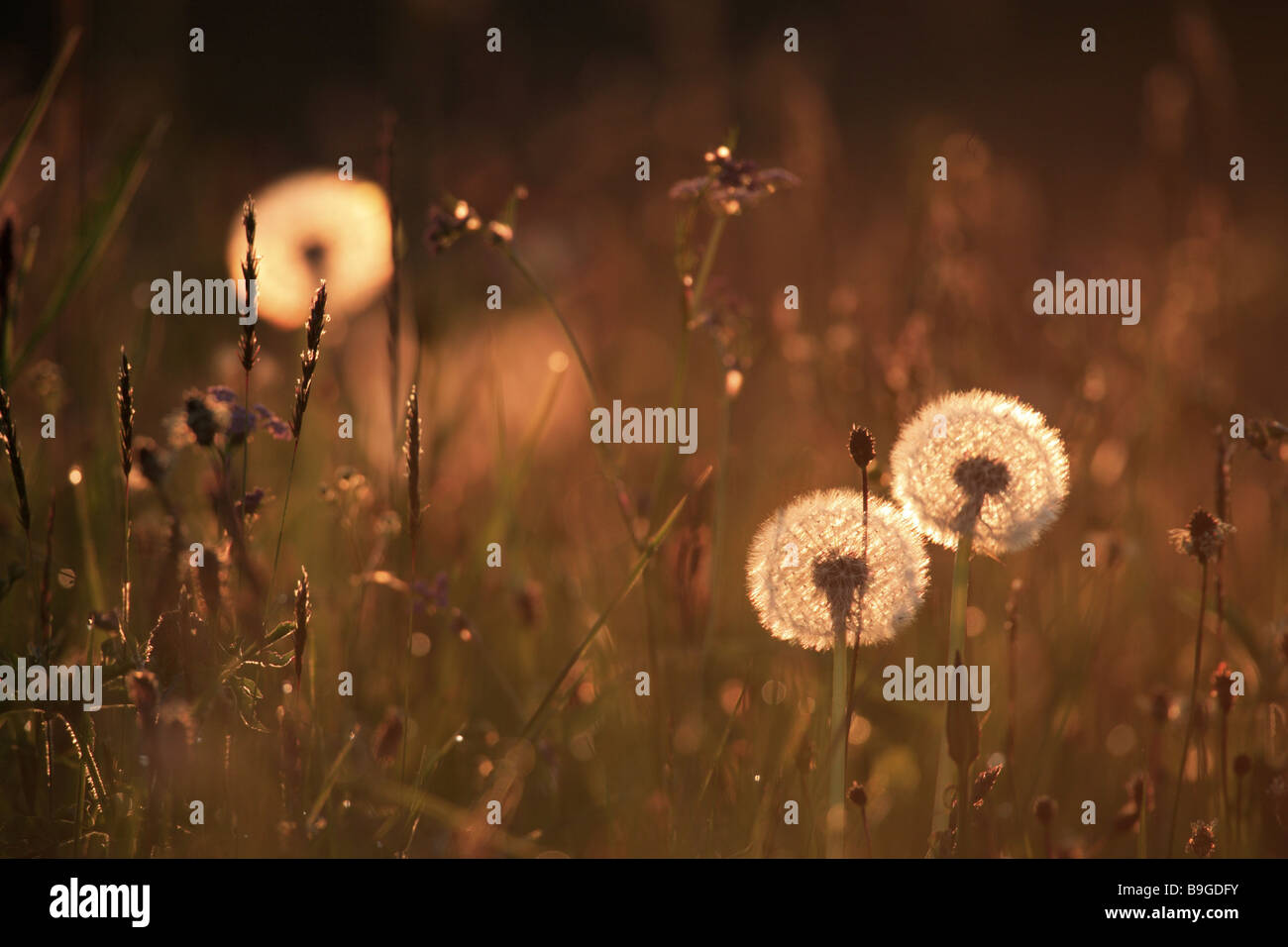 Meadow dandelion breath-flowers withers back light - Stock Image