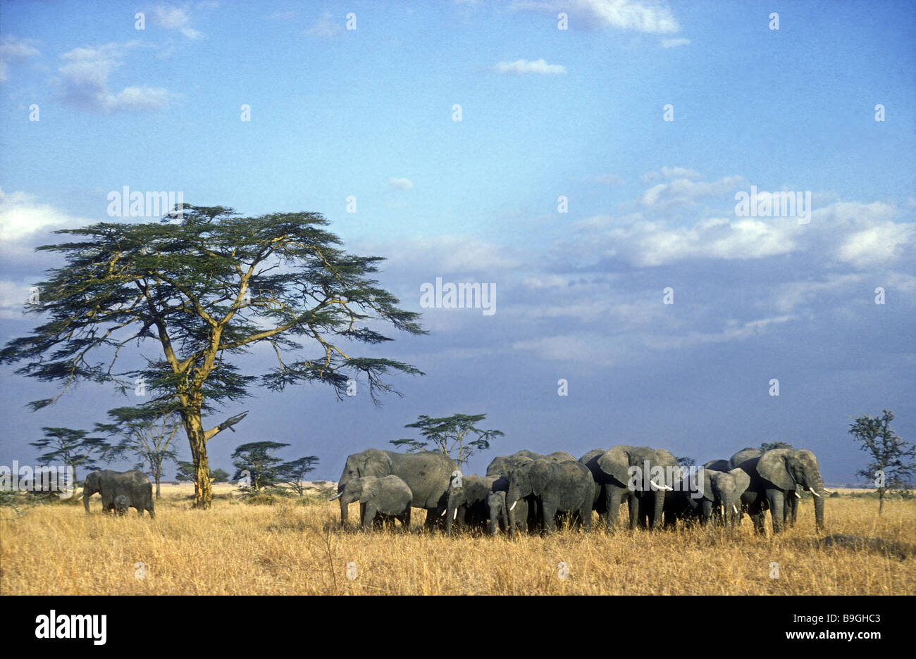 Elephant herd in the Serengeti National Park Tanzania East Africa The adult females have formed a circle to protect - Stock Image