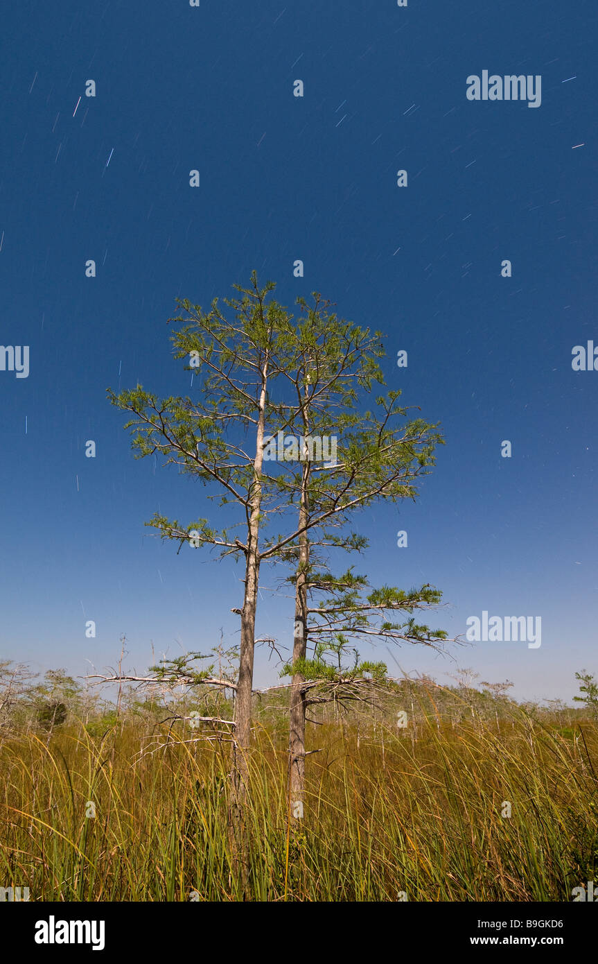 Time exposure under full moon captures star trails bald cypress forest in sawgrass prairie, Everglades National - Stock Image