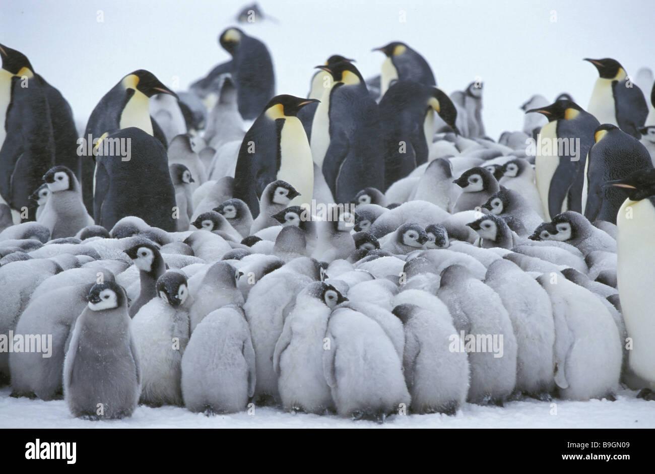 Emperor-penguins  Aptenodytes forsteri - Stock Image
