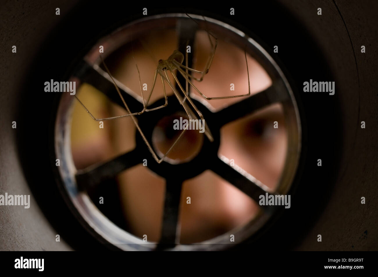 DADDY LONG LEGS SPIDER Pholcus phalangiodes Pholcidae in plughole - Stock Image
